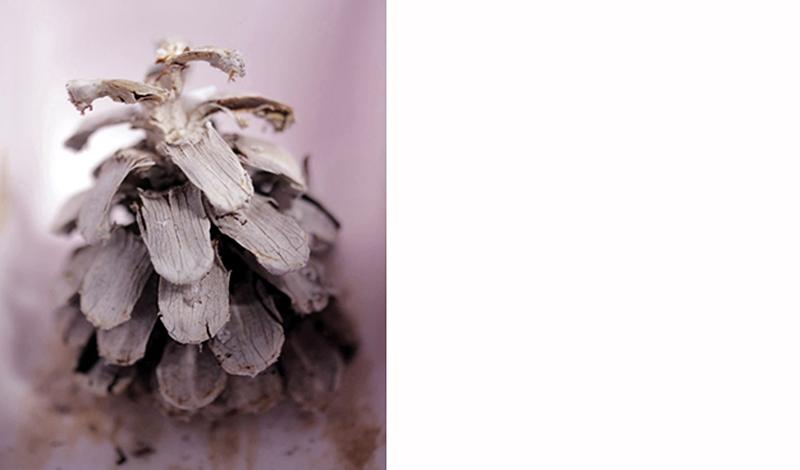 Schon Ein Versteinerter Kiefernzapfen, Dessen Schuppen Sich Bei Befeuchtung Gegen  Die Schwerkraft Aufwärts Biegen Und Beim Trocknen Wieder Zurück. Foto: WZS